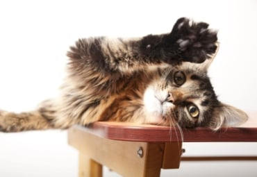fluffy domestic cat stretches its paw and claws in the air