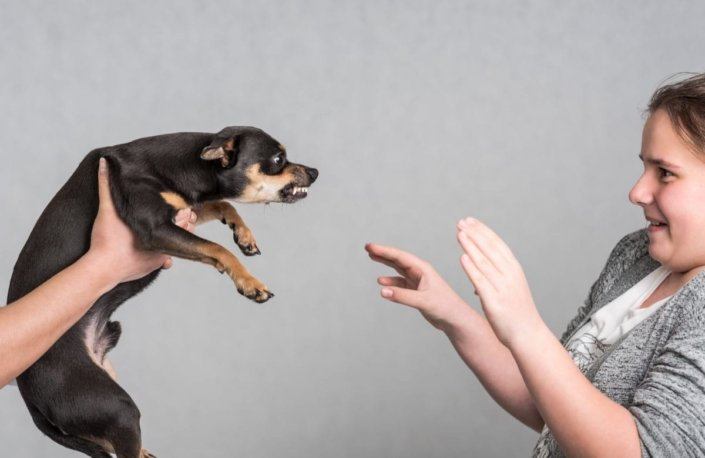 A girl fearfully approaching an angry-looking chihuahua