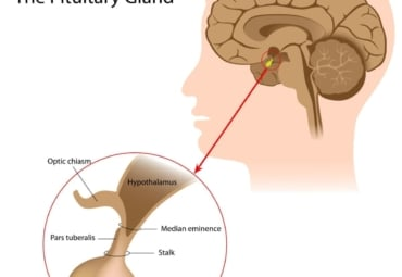 Zoomed out and zoomed in view of the brain's pituitary gland
