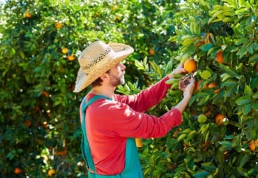 farmer harvests oranges in an orange tree field